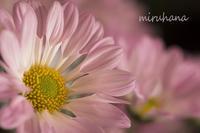風車菊*はままつフラワーパーク - MIRU'S PHOTO