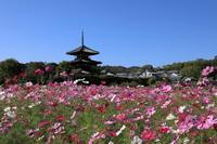 奈良法起寺のコスモス - ぴんぼけふぉとぶろぐ2
