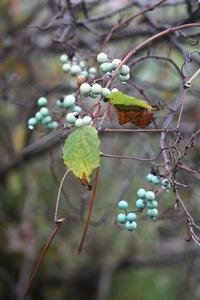 青く色づいたノブドウ - じょんのび