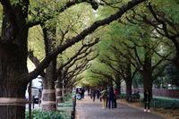 11月16日神宮外苑銀杏並木 - てしやから君の撮影日記
