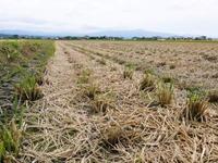 砂田米七城町『砂田のれんげ米』平成31年度も稲ワラとれんげの有機肥料で変わることなく育てます!前編 - FLCパートナーズストア