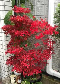 我が家の紅葉 - いつとこ気まぐれブログ
