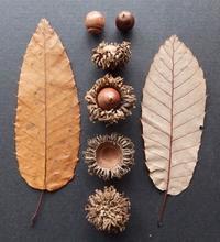 #ドングリ #果実  『棈』 Quercus variabilis - 自然感察 *nature feeling*