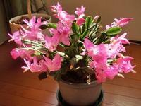 ウチのシャコバサボテンの花が咲いた - 某の雑記帳