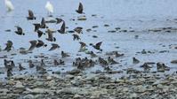 ムクドリの群れの水浴び - Life with Birds 3