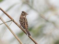 葦原のカシラダカ - コーヒー党の野鳥と自然 パート2