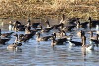 雁の大群長都沼 - 今日の鳥さんⅡ
