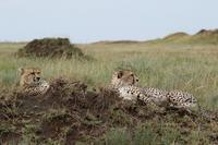 サバンナの動物たち(その8、最終回)、タンザニアのセレンゲティそして、ンゴロゴロ - 旅プラスの日記