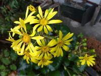 石蕗 - だんご虫の花