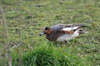 MFの沼にて(アメリカヒドリ效雑種) - 私の鳥撮り散歩