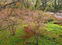 四季桜が見ごろです - 金沢犀川温泉 川端の湯宿「滝亭」BLOG
