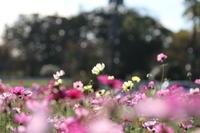 あけぼの山農業公園で~コスモスまみれ♪20185 - Let's Enjoy Everyday!