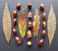 #ドングリ #果実  『葉長樫』 Quercus hondae - 自然感察 *nature feeling*