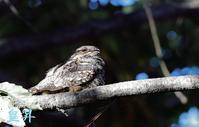 体全体が保護色で、コブのように止まり動かず、したがって見つけずらい鳥である、一生に見られるか疑問府がつく、運上昇中である。誠 - 皇 昇