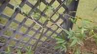 モッコウバラの誘引 - うちの庭の備忘録 green's garden