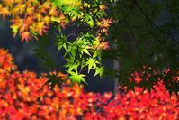 木漏れ日の緑が素晴らしい♪・・・陽射しは紅葉撮りにとって最高の照明係だ・・・金蔵院で紅葉(3) - 『私のデジタル写真眼』