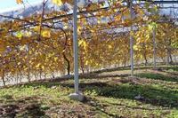 晩秋の葡萄園 - ~葡萄と田舎時間~ 西田葡萄園のブログ