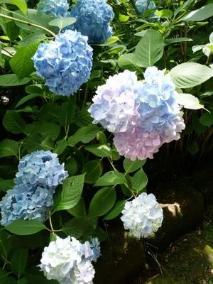 鎌倉明月院のあじさい - kurambon