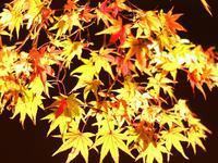 熊本市の紅葉 - 空いいよ!どっと混む♪