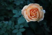 夕暮れどきのバラ(2) - 木洩れ日 青葉 photo散歩