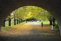 昭和記念公園のイチョウ並木 - 光の音色を聞きながら Ⅳ