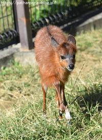 2018年10月王子動物園3その3シタツンガの赤ちゃん - ハープの徒然草
