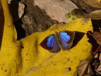 ムラサキツバメ冬に備えて - 蝶のいる風景blog