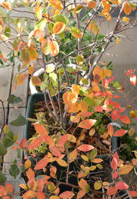 ジューンベリーとブルーベリーの紅葉 - kukka  kukka