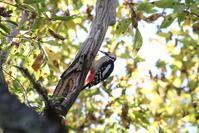 里山・城山での出会い(アカゲラ・イカル) - 私の鳥撮り散歩