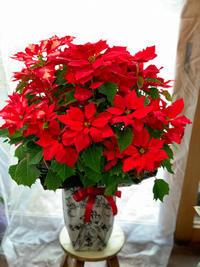 完売必至のTHE☆クリスマス【ビッグサイズのポインセチア】 - ルーシュの花仕事