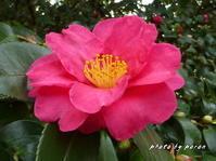 早くも公園各所でサザンカ(山茶花)が咲き出してきました。 - デジカメ散歩悠々