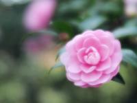 昭和記念公園の山茶花1 - 光の音色を聞きながら Ⅳ