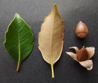 #ドングリ 『円椎』 Castanopsis cuspidata - 自然感察 *nature feeling*