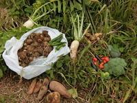秋の畑、収穫 - 素人百姓日記(有機無農薬野菜作りの記録)