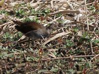 手賀曙橋周辺の鳥たち(バン、ハクセキレイ、タシギ、ハジロカイツブリ、カイツブリ、コガモ) - 花と葉っぱ