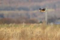 ハイイロチュウヒ - 北の野鳥たち