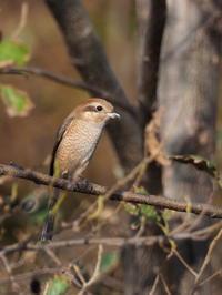 小春日和のモズ - コーヒー党の野鳥と自然 パート2
