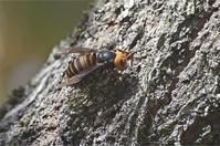 ●● 平穏無事な光景でしたが・・・・・・・樹上のオオスズメバチ ●● - kameのフォトブック2