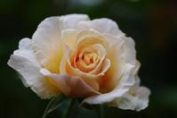横浜イングリッシュガーデン薔薇9 - 生きる。撮る。