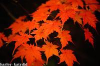 紅葉 - harley-katydid