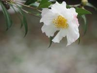 昭和記念公園の山茶花2 - 光の音色を聞きながら Ⅳ
