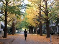 【先週の東大駒場の銀杏の黄葉】 - お散歩アルバム・・夏空の下で