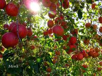 満月のリンゴ - Miwaの優しく楽しく☆
