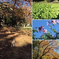 朝散歩は砧公園へ - ミニチュアブルテリア ダージと一緒3
