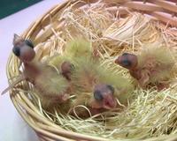 オカメインコ雛たち - お店のインコたち