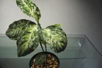 Aglaonema pictum 'CWモザイク' - PlantsCade -2nd effort