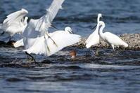 ウミアイサの漁~魚影が濃いのか鳥達が集まりご馳走は早いもん勝ち? - 私の鳥撮り散歩