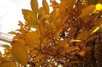 ヤマコウバシの紅葉はキレイだな - もるとゆらじお