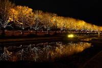 昭和記念公園銀杏ライトアップ - Taro's Photo