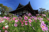 コスモス寺・般若寺 - 花景色-K.W.C. PhotoBlog
